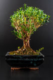 Bonsai. In a ceramic pot isolated on black background Stock Photos