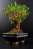 Bonsai. In a ceramic pot isolated on black background Stock Images