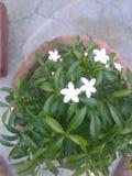 Bonsai chandini roślina Zdjęcie Stock