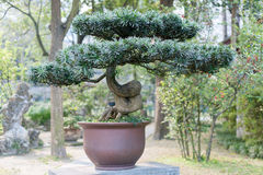 Bonsai in a Chengdu Park Stock Photo