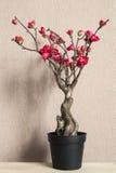 Bonsai cherry blossom stock photos