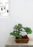bonsai chińskiej rośliny doniczkowy drzewo fotografia royalty free
