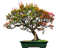 Bonsai of Chinese elm Stock Photo