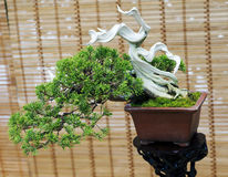 Bonsai. The Chinese juniper. The age of about 50 years. Royalty Free Stock Photo