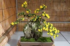 Bonsai of chrysanthemum flowers Stock Photo