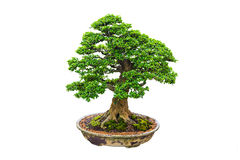 Bonsai. Close up shot bonsai on isolate white background Stock Image
