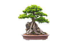 Bonsai. Close up shot bonsai on isolate white background Royalty Free Stock Photos