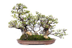 Bonsai Stock Images