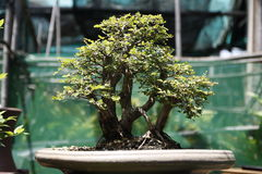 Bonsai. Close up of bonsai tree Stock Images