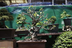 Bonsai. Close up of bonsai tree Royalty Free Stock Images