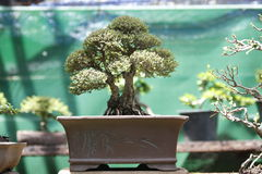 Bonsai. Close up of bonsai tree Stock Photos