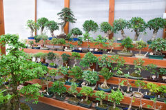 Bonsai collection Royalty Free Stock Images