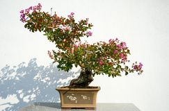Flowering bonsai. Bonsai collection at Montreal Botanical Garden royalty free stock photography
