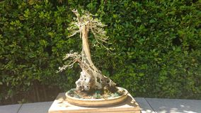 Bonsai collection. Bonsai tree art collection madrid Stock Photography
