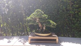 Bonsai collection. Bonsai tree art collection madrid Stock Photos