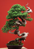 Bonsai conifer. Old bonsai conifer selected on the red background with very beautiful form Stock Photos