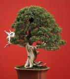 Bonsai conifer stock photography