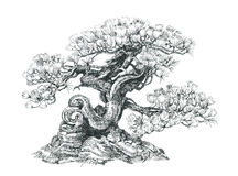 Bonsai,  coniferous , black and white . Tree bonsai,black and white, coniferous,  drawing pen Royalty Free Stock Image
