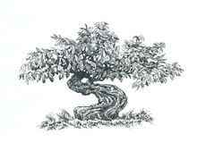 Bonsai,  coniferous , black and white . Tree bonsai,black and white, coniferous,  drawing pen Stock Photo