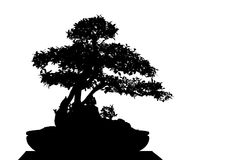 Bonsai cucoloris Royalty Free Stock Image