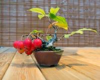 Bonsai De boom van de appel De leeftijd van 12 Stock Foto