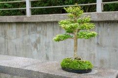 Bonsai in de botanische tuin Stock Foto