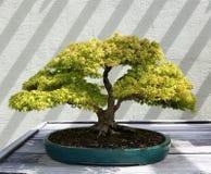Bonsai deciduous tree Stock Image