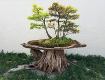 Bonsai deciduous trees. Bonsai and Penjing landscape with miniature deciduous trees in a tray stock image
