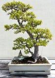 Bonsai deciduous trees Stock Photo