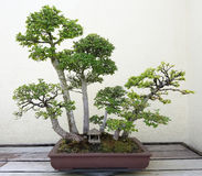 Bonsai deciduous trees. Bonsai and Penjing landscape with miniature deciduous trees in a tray royalty free stock image