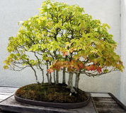Bonsai deciduous trees Royalty Free Stock Images