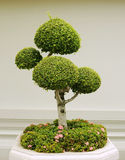 Bonsai decorative tree Royalty Free Stock Photos