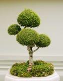 Bonsai decorative tree Royalty Free Stock Photos