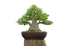 Bonsai del Adenium su bianco dell'isolato Immagini Stock