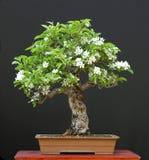 Bonsai del Apple in fioritura Fotografie Stock Libere da Diritti