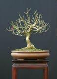 Bonsai del Euonymus Fotografia Stock Libera da Diritti