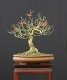 Bonsai del Euonymus con le bacche Fotografia Stock