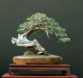 Bonsai del ginepro Fotografie Stock