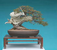 Bonsai del ginepro della montagna rocciosa Fotografia Stock Libera da Diritti