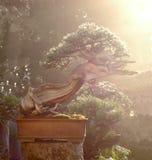 Bonsai del ginepro in rugiada di mattina Immagini Stock