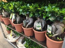 Bonsai del ginseng di ficus fotografia stock