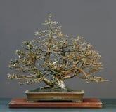 Bonsai del larice in inverno Fotografia Stock Libera da Diritti