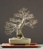 Bonsai del Linden Immagine Stock Libera da Diritti