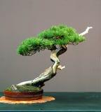 Bonsai del pino di Mugo Fotografie Stock