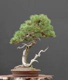Bonsai del pino di Mugo Fotografia Stock Libera da Diritti