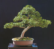 Bonsai del Yew Fotografie Stock
