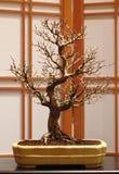 Bonsai dell'acero del tridente Fotografie Stock