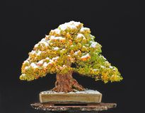 Bonsai dell'acero del tridente con neve Fotografia Stock Libera da Diritti