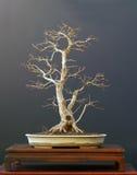 Bonsai dell'acero di campo in inverno Fotografie Stock Libere da Diritti
