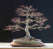 Bonsai dell'acero giapponese Fotografia Stock Libera da Diritti